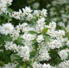 Radspiere Magical Spring Time 60-80cm - Exochorda racemosa