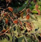 Rotlaubige Buche Rohanii 60-80cm - Fagus sylvatica