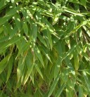 Mähnenbambus Green Lion® 60-80cm - Fargesia