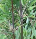 Gartenbambus Jiuzhaigou Genf 80-100cm - Fargesia Jiuzhaigou Genf