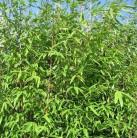 Wickinger Gartenbambus 125-150cm - Fargesia hybrid