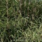 Gartenbambus Great Wall 40-60cm - Fargesia nitida