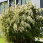 Hecken-Bambus Wolong 100-125cm - Fargesia robusta