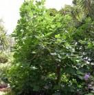 Feigenbaum Osborn Prolific 80-100cm - Ficus carica