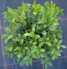 Scheinbeere Hook 30-40cm - Gaultheria hookeri