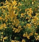 Ätna Ginster 30-40cm - Genista aetnensis