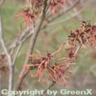 Rote Zaubernuß Ruby Glow 40-60cm - Hamamelis intermedia