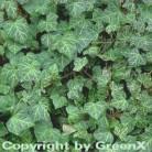 Gemeiner Efeu 20-30cm - Hedera helix