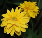 Sonnenauge - Heliopsis scabra