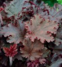 Purpurglöckchen Melting Fire - großer Topf - Heuchera villosa