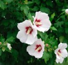 Hochstamm Garteneibisch Helen 80-100cm - Hibiscus