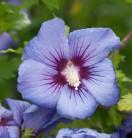Garteneibisch Marina 80-100cm - Hibiscus