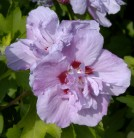 Rosen Eibisch Ardens 80-100cm - Hibiscus syriacus