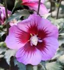 Garteneibisch Purple Pillar 40-60cm - Hibiscus