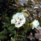 Rosen Eibisch Speciosus 60-80cm - Hibiscus