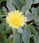 Silberblättriges Mausohr Niveum - Hieracium pilosella