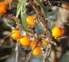Weiblicher Sanddorn Leikora 30-40cm - Hippophae rhamnoides