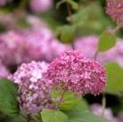 Ballhortensie Pink Annabelle 30-40cm - Hydrangea arborescens
