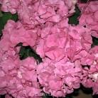 Bauernhortensie Moritzburg® 30-40cm - Hydrangea macrophylla