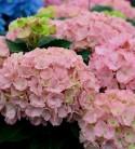 Bauernhortensie Pink Sensation® 40-60cm - Hydrangea macrophylla