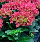 Bauernhortensie Royal Red® 30-40cm - Hydrangea macrophylla