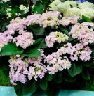 Bauernhortensie You&Me Romance® 30-40cm - Hydrangea macrophylla