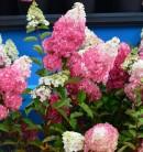 Rispenhortensie Fraise Melba 60-80cm - Hydrangea paniculata