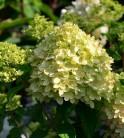 Hochstamm Rispenhortensie Little Lime® 80-100cm - Hydrangea paniculata