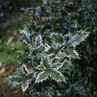 Weißbunte Stechpalme Ingramii 20-25cm - Ilex aquifolium
