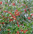 Hochstamm Stechpalme Nellie R Stevens 60-80cm - Ilex aquifolium