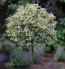Hochstamm Stechpalme Red Tips 40-60cm - Ilex aquifolium