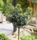 Hochstamm Stechpalme Ilex Heckenzwerg® 80-100cm - Ilex meserveae