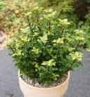 Amerikanischer Ilex Little Rascal 40-50cm - Ilex meserveae