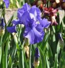 Schwertlilie Blue Luster - Iris barbata