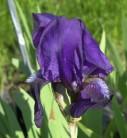 Schwertlilie Eleanor Roosevelt - Iris barbata