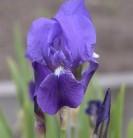 Deutsche Schwertlilie - Iris germanica