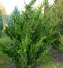 Chinesischer Wacholder Kaizuka 40-50cm - Juniperus chinensis