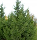 Chinesischer Wacholder Keteleeri 100-125cm - Juniperus chinensis