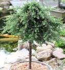 Hochstamm Grüner Kriechwacholder Green Mantle 60-80cm - Juniperus squamata