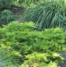 Strauchwacholder Mordigan Gold 20-25cm - Juniperus media