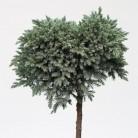 Hochstamm Blauer Sternwacholder 60-80cm - Juniperus squamata
