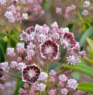 Großer Berglorbeer Black Label 20-25cm - Kalmia latifolia