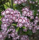 Berglorbeer Minuet 30-40cm - Kalmia latifolia