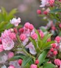 Berglorbeer Tiddlywinks 25-30cm - Kalmia latifolia