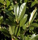 Kirschlorbeer Elly® 125-150cm - Prunus laurocerasus