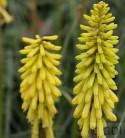 Fackellilie Lemon Popsicle - großer Topf - Kniphofia uvaria