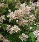 Perlmuttstrauch Kolkwitzie Maradco 40-60cm - Kolkwitzia amabilis