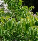 Chinesische Kräuselmyrte Catawba 80-100cm - Lagerstroemia indica