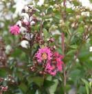 Chinesische Kräuselmyrte Hopi 80-100cm - Lagerstroemia indica