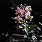 Chinesische Kräuselmyrte La Fayette 30-40cm - Lagerstroemia indica